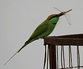 Green Bee-eater (Merops orientalis) with a dragonfly W IMG 2545 g.jpg