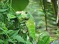 Green Forest Lizard (Calotes calotes).jpg
