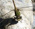 Green Hooktail Male Paragomphus genei (32351675183).jpg