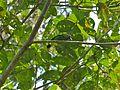 Green Iora (Aegithina viridissima) (8071319657).jpg