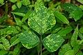 Green Leaf (Vigna Unguiculata) 01134.jpg