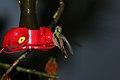 Green Violetear (Colibri thalassinus) (4856364219).jpg