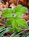 Green leaves lined with ice (8404420140).jpg