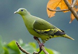 Grey-fronted green pigeon - Image: Grey fronted Green Pigeon (Treron affinis)