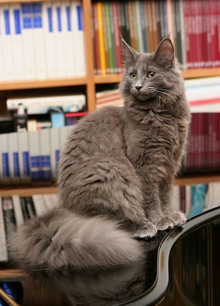 File:Grey Norwegian Forest Cat.jpg