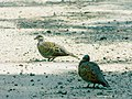Grlica (Streptopelia turtur), mužjak i ženka ; European Turtle-dove, male and female.jpg