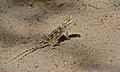 Ground Agama (Agama aculeata) (6452857343).jpg