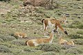 Guanaco (Lama guanicoe) - Torres del Paine National Park 30.jpg