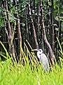 Guyane Dans les bambous de Kaw.jpg
