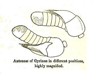 Whirligig beetle - Antenna of Gyrinus