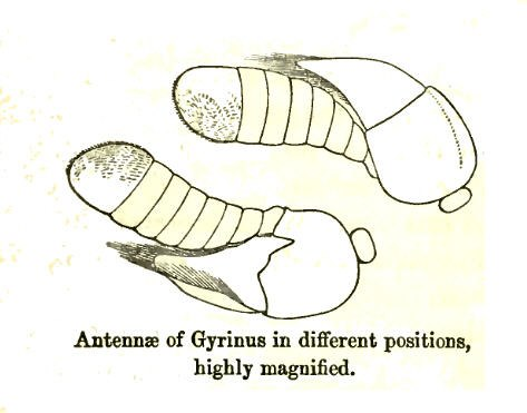 GyrinusAntennae