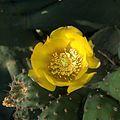 H20140525-2608—Opuntia ficus-indica (14099156567).jpg