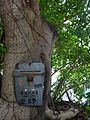 HK 上環 Sheung Wan 磅巷 Pound Lane Chinese Banyan tree trunk Aug 2016 DSC.jpg