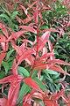 HK 西營盤 Sai Ying Pun 香港 中山紀念公園 Dr Sun Yat Sen Memorial Park plants red leaves Sept 2017 IX1 02.jpg