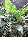 HK CWB 銅鑼灣 Causeway Bay 希慎廣場 Hysan Place Sky Garden plant white stem 孔雀竹芋 Calathea makoyana 肖竹芋屬 Calathea zebrina October 2017 IX1 03.jpg