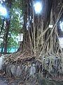 HK Tin Hau 金龍道 Dragon Road 榕樹 Banyan tree trunk roots July-2012.jpg