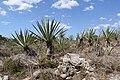 Hacienda Sotuta de Peón - Campos de henequén 2.jpg