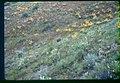 Hackelia cronquistii habitat in SW Idaho.jpg