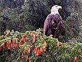 Haines Alaska Bald Eagle.jpg