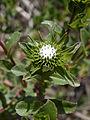 Hairy gumweed (Grindelia hirsutula) (5779733442).jpg