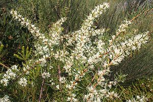 Swamps of the Blue Mountains - Hakea teretifolia 3 Kurnell smaller