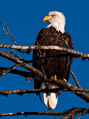 Bald Eagle in the Skagit valley, Washington, USA.