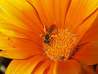 Halictus bee on flower-2.jpg