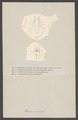 Halimus aries - - Print - Iconographia Zoologica - Special Collections University of Amsterdam - UBAINV0274 006 01 0077.tif