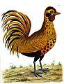 Hamburgh Cock Eleazar Albin (1740).jpg