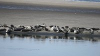 File:Harbor seals (Phoca vitulina) in New York.webm