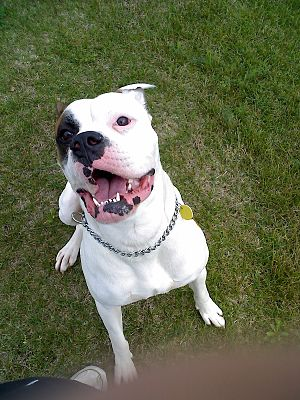 English: American Bulldog - Harley 1 year 85lbs