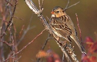 Harris's sparrow - Harris's Sparrow near Denton, Nebraska. October 2017.