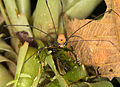 Harvestman from Ecuador (15316920937).jpg