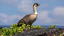 Hawaiian Bird.jpg