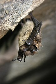 A little brown bat hangs upside down from a cave wall