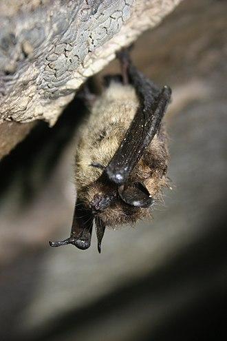 Little brown bat - Little brown bat during winter hibernation
