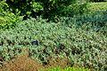 Hebe recurva - Savill Garden - Windsor Great Park, England - DSC05976.jpg
