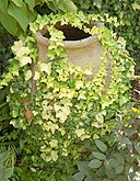 Hedera helix 'Buttercup' Urn 2000px