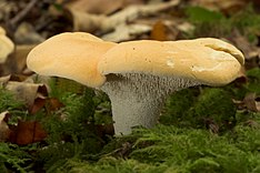 Hedgehog fungi2.jpg
