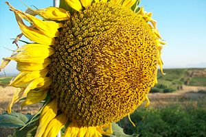 Sunflower (Helianthus annuus).