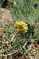 Helichrysum stoechas subsp. barrelieri kz01.jpg