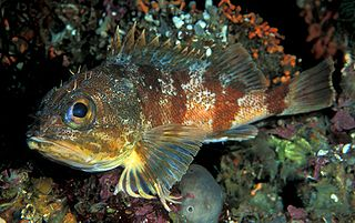 Red gurnard perch species of fish