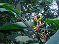 Heliconia mincana (14572082593).jpg