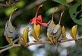 Helicteres isora (East Indian screw tree) W IMG 1251.jpg