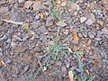 Heliotropium curassavicum Habitus 2011-8-14 SierraMadrona.jpg
