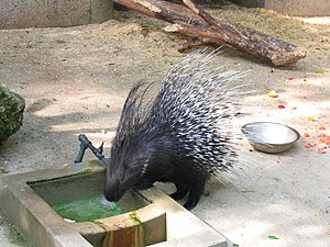 Hystrix (porcupine) - Porcupine drinking water (Henry Vilas Zoo, Madison, Wisconsin)