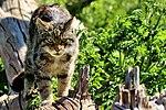 Here kitty, kitty, kitty - (23268388371).jpg