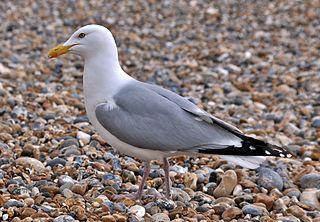 Herring Gull (Larus argentatus), Brighton, England.JPG