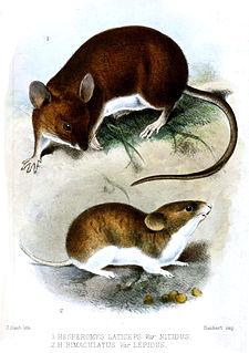 <i>Euryoryzomys</i> genus of mammals