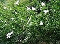HibiscusSyriacus8.jpg